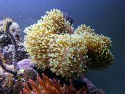 Sarcophyton Koralle Meerwasser