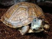 Terrapene Carolina Triunguis - Dosenschildkröte