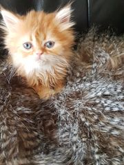 Perser-Kitten-Katzenbabies mit Nase