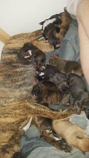 Labrador Mischlings Welpen