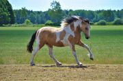 Falbe Curly Horse Stute 1
