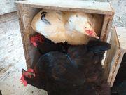 Legereife Hühner