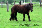 Shetland Pony Hengst Shetty Rappe