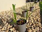 Trachycarpus fortunei Sämlinge