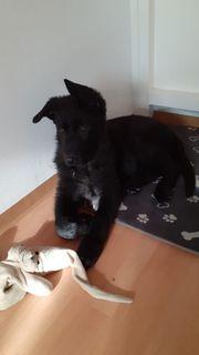 Schwarze Deutsche Schäferhund Welpe