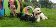 Goldendoodle Black and Tan Multicolour
