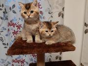 Bkh Kitten mit Stammbaum Katerchen