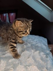 bkh kitten Wiskas
