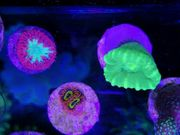 Korallen Paket 10 Ableger Meerwasser