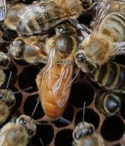 Verkaufe begattete Buckfast Bienen Königinnen