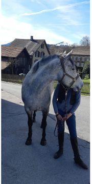 Irländer Pony zu verkaufen