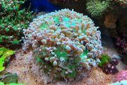 Duncanopsammia axifuga - BartkoralleMeerwasser Koralle