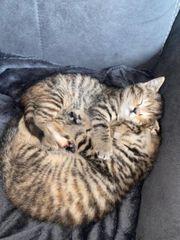 Scottisch Straight Kitten