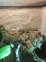 SUCHE 1 1 blaesodactylus sakalava