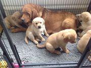 Verkauf von Labrador-Welpen