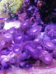 Korallen Anemonen fürs Meerwasser Aquarium