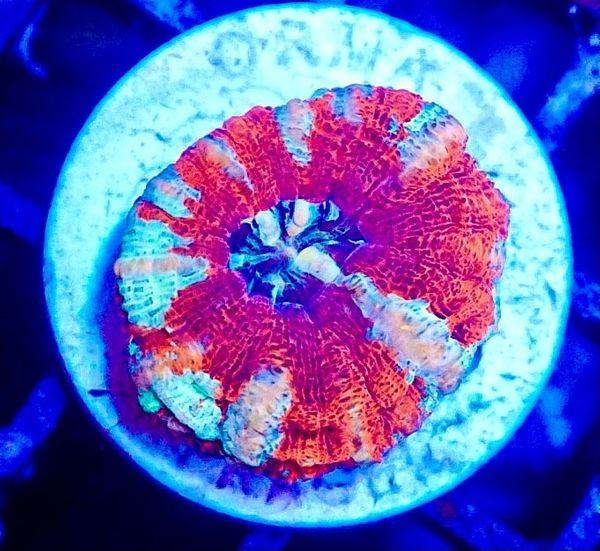 Meerwasser Korallen Steinkorallen Weichkorallen und
