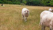 Schafe Böcke Lämmer m w