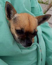 Chihuahua-Hündin entlaufen