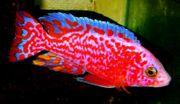 Aulonocara-Firefish-seifert- genetisch rot und Sciae