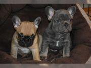wunderschönen Französische Bulldoggen Welpen