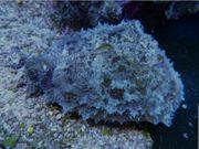 Meerwasser Seehasen