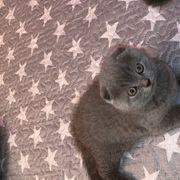 Schottisch fold kitten zu verkaufen