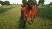 Biete Pferd zur Verfügung - Quarter