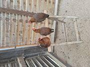 Zwerg Welsumer Hühner