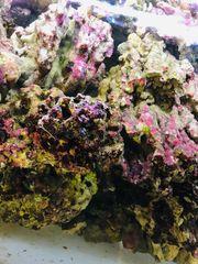 Meerwasser Lebendgestein