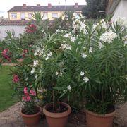 Oleanderpflanzen Standort Ludwigshafen