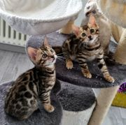 Bengal Kitten Reinrassige