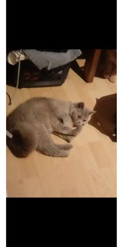 Rasse Katze abzugeben für Allergiker