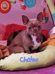 Exzellenter FCI Chihuahua Deckrüde lilac