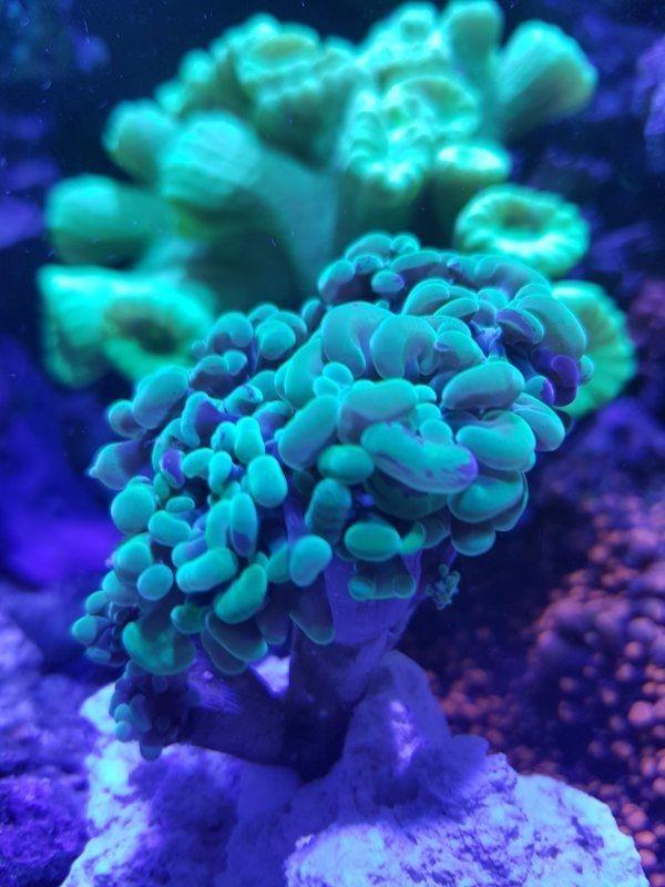 Meerwasser Korallen Hammerkoralle Zoanthus sociatus