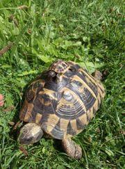 Griechische Landschildkröten Babies Nachzucht 07
