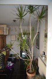 Drachenbaum riesig 35 Jahre alte