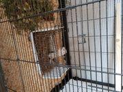 Sibirisches weißes Streifenhör-nchen