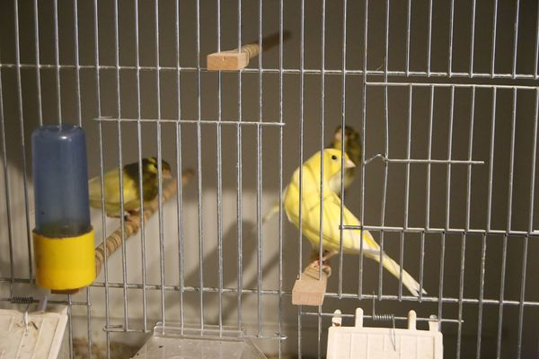 Kanarienvögel Harzer Edelroller