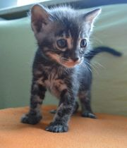 Bengal Kitten in silber marbled