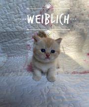 BKH Scotisch Fold Kitten