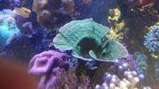 korallenableger