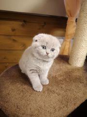 Scottisch Fold Scottisch Straight Kitten