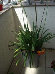 Agapanthus - Schmucklilie