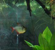 Rot-blauer Kolumbianer Hyphessobrycon columbianus Rotblauer