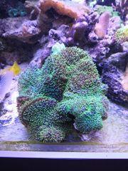 Grüne Scheibenanemonen auf lebendem Stein
