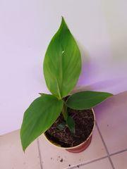 musa Basjoo Bananenpflanze winterhart Banane