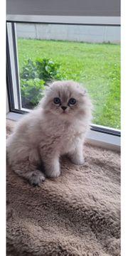 noch 3 wunderschöne kitten scottish