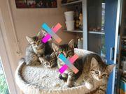 Kitten Babykatzen Ekh-Siam Bkh Mix