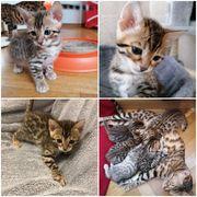 Bengalkatzenbabys zu verkaufen